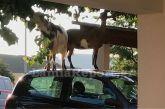 Λαμία: Ο απίθανος τρόπος με τον οποίο οι κατσίκες κατάφεραν να φτάσουν τη μουριά!