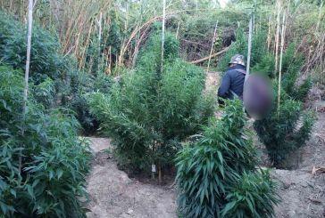 Αιγιαλεία: Καλλιεργούσαν ειδικές ποικιλίες κάνναβης σε ορεινή περιοχή