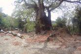 Ο «Γέρο Πλάτανος» στο Χαλκιόπουλο