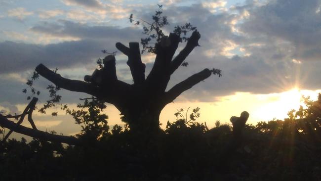 Έντονες αντιδράσεις για την κοπή αιωνόβιου δέντρου στην Αγία Τριάδα Αμφιλοχίας