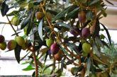 Βαρύ το χτύπημα στην ελιά Καλαμών – χωρίς βιώσιμη τιμή για δεύτερη σεζόν