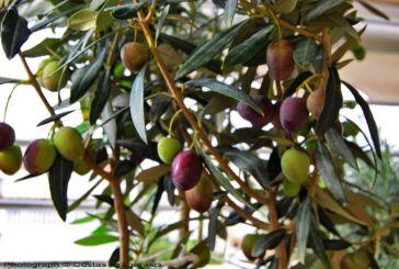Νέα αναβολή εκδίκασης της υπόθεσης για την ΠΟΠ ελιά Καλαμών για την 1η Ιουνίου