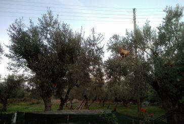 Κότες… κλαρωμένες πάνω στις ελιές στον Ρουπακιά Αγρινίου!