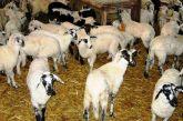 Πωλούνται πρόβατα παλιάς ράτσας στο Θέρμο