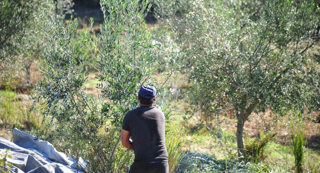 Επικοινωνία Καραγκούνη – Βορίδη για την οικονομική ενίσχυση στους παραγωγούς επιτραπέζιας ελιάς