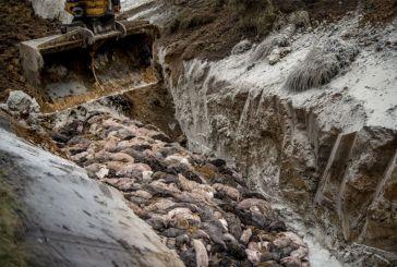 Δανία – Η σφαγή των βιζόν: Θανατώθηκαν 17.000.000 λόγω κορωνοϊού – Φρικτές εικόνες
