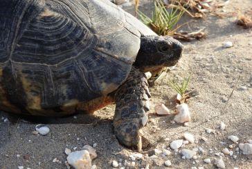 """Η φύση δε μπαίνει σε καραντίνα:παρακολούθηση της """"βουνίσιας"""" χελώνας στην Αιτωλοακαρνανία"""