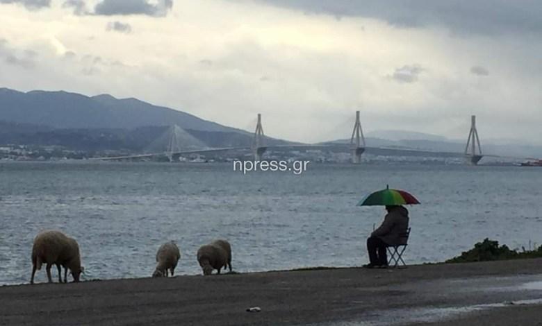 Ναύπακτος: Πήγε τα πρόβατα για βοσκή στην…παραλία