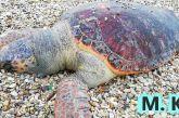 Νεκρή χελώνα καρέτα-καρέτα σε παραλία της Βόνιτσας