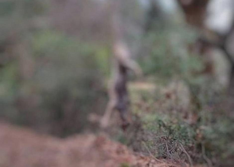 Καταγγελία «Αρκτούρου» στο Δασαρχείο Μεσολογγίου: Σκότωσαν και κρέμασαν σε δέντρο λύκο στον Αράκυνθο