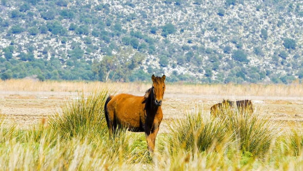 Βίντεο: Τα άγρια άλογα στον Λούρο