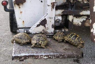 Χαλκιόπουλο: τι τους έφταιξαν οι χελώνες;