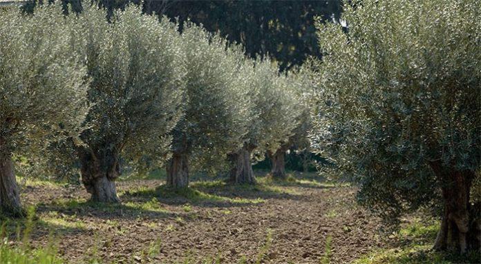 Που οφείλεται η γενική ακαρπία των ελαιόδεντρων;