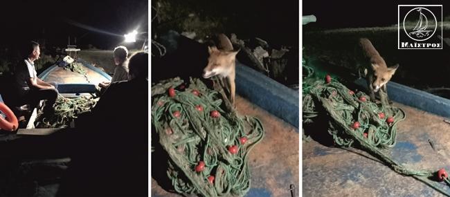 Αμφιλοχία: Αλεπού πάνω σε βάρκα τρώει γαύρο και γαρίδες