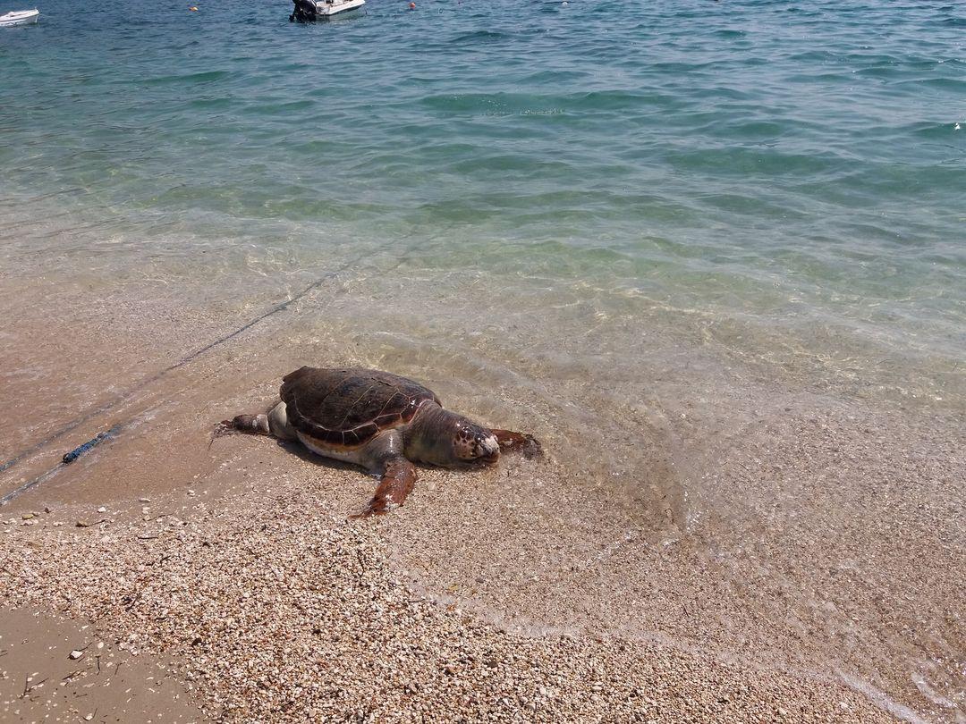 Μύτικας: Νεκρή χελώνα καρέτα-καρέτα στην παραλία της Παλιόβαρκας