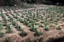 Φυτεία «μαμούθ» με 910 δενδρύλλια κάνναβης εντόπισαν οι Αρχές στην Αιγιαλεία