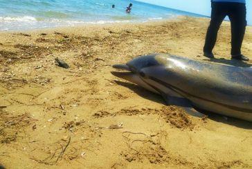 Νεκρό δελφίνι «ξέβρασε» η θάλασσα στο Αντίρριο