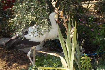 Περίθαλψη τραυματισμένων πτηνών στην προστατευόμενη περιοχή λιμνοθαλασσών Μεσολογγίου – Αιτωλικού