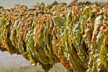 Χορήγηση κρατικών ενισχύσεων ήσσονος σημασίας (de minimis) επιτραπέζιας Ελιάς – καπνών ποικιλίας Βιρτζίνια
