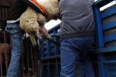 Αγρίνιο: Οι ζωοκλέφτες κι ο βοσκός που έκανε το… κορόιδο πριν ειδοποιήσει την Αστυνομία!